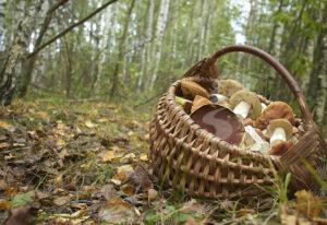 Cesta con hongos y setas en bosques de Soria